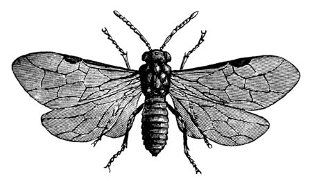 Rose Sawfly which is a rose eating fly, vintage line drawing or engraving illustration. Stock Illustratie