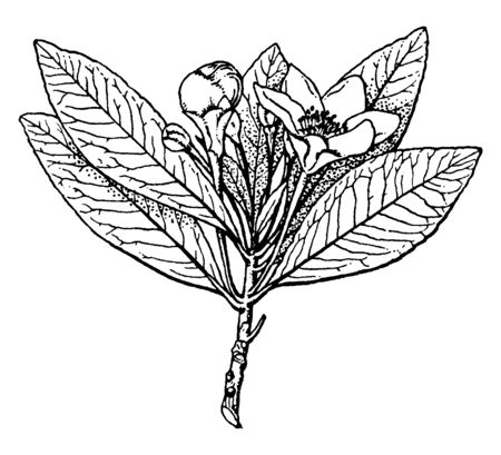 It has ascending branches, an oval form, evergreen leaves, and long-stalked, fragrant flowers, vintage line drawing or engraving illustration. Çizim