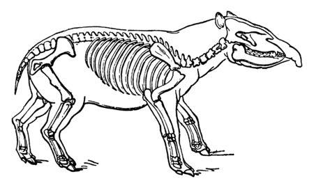 Palaeotherium is an extinct genus of primitive perissodactyl ungulate, vintage line drawing or engraving illustration.