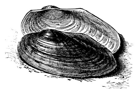River Mussel is a species of freshwater mussel an aquatic bivalve mollusk in the family Unionidae, vintage line drawing or engraving illustration. 写真素材 - 133025705