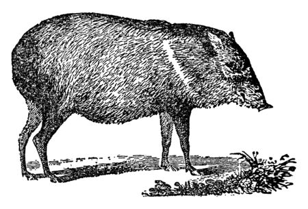 Peccary is a medium sized hoofed mammal of the family Tayassuidae in the suborder Suina, vintage line drawing or engraving illustration.