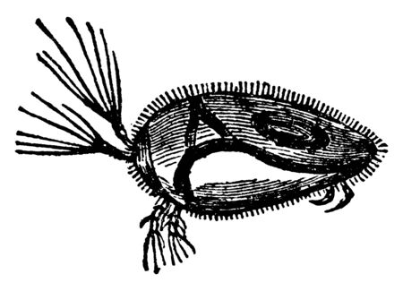 Cypris Unifasciata Water Flea is a popular name for minute aquatic Crustaceans, vintage line drawing or engraving illustration. Stok Fotoğraf - 133025488