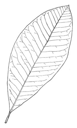 A picture showing a leaf of Magnolia tree. The leaves are simple, alternate and entirely edged, vintage line drawing or engraving illustration.