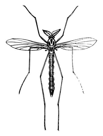Midge is species frequent marshy places, vintage line drawing or engraving illustration.