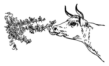 The image shows a cow grazing on a thorny tree. A cow and many other animals graze with their tongue coming out from under the plant, vintage line drawing or engraving illustration. Illustration