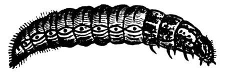 Bagworm which is thyrtdopteryx ephemeraeformis species, vintage line drawing or engraving illustration. Ilustração