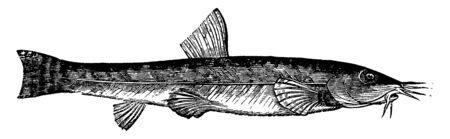 Loach has the habit of lurking under stones, vintage line drawing or engraving illustration. Illustration
