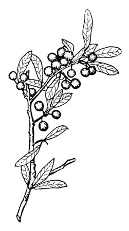 Shrub of a genus that includes holly and its relatives, vintage line drawing or engraving illustration.