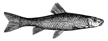 Hair Lip Suckers is a fish with a brownish color above, vintage line drawing or engraving illustration.