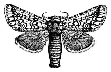 Puss Moth feeds on willow, vintage line drawing or engraving illustration.