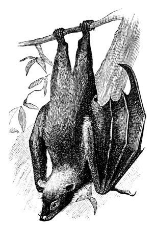 Fruit Bat constitute the suborder Megachiroptera and its only family Pteropodidae of the order Chiroptera, vintage line drawing or engraving illustration.