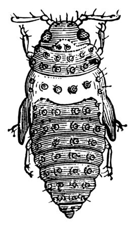 Vine Pest is a tiny sap sucking insect, vintage line drawing or engraving illustration.
