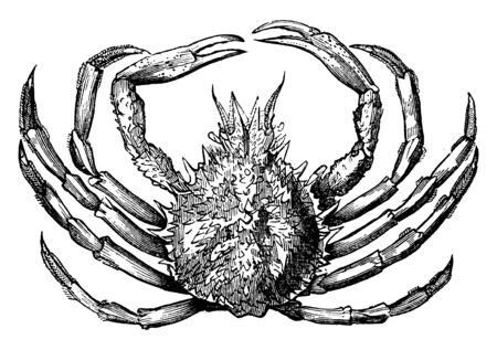 Spinous spider crab is usually covered with spines and hairs, vintage line drawing or engraving illustration. Illustration