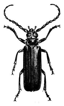 Prioninae is a species of large brown or black beetles, vintage line drawing or engraving illustration. Ilustração