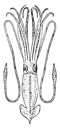 Giant Squid is a deep ocean dwelling squid in the family Architeuthidae, vintage line drawing or engraving illustration. Ilustrace