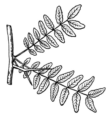 Branch of Gleditsia which is also called locust are native to North and South America, tropical Africa, and central and eastern Asia, vintage line drawing or engraving illustration. Çizim