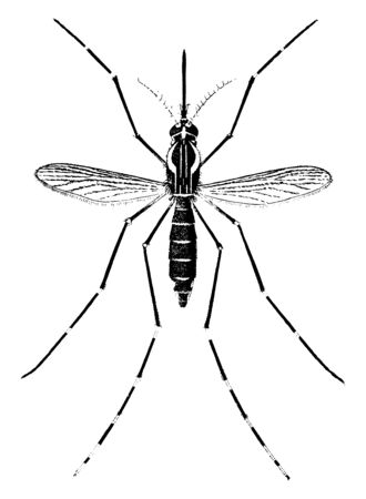 Adult Yellow Fever Mosquito which is magnified nine times, vintage line drawing or engraving illustration.