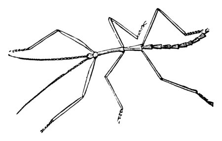 Walking Stick lead a sluggish life among the branches of shrubs, vintage line drawing or engraving illustration. Imagens - 133027048