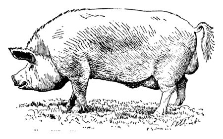Yorkshire pig which is best for bacon, vintage line drawing or engraving illustration.