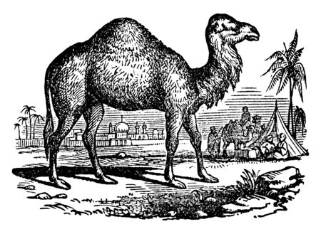 Dromedary also called the Arabian camel, vintage line drawing or engraving illustration.