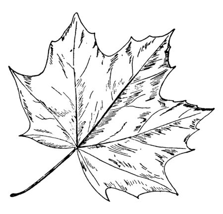 This is a leaf of Norway maple and is a species of Maple. This is a deciduous tree, vintage line drawing or engraving illustration.