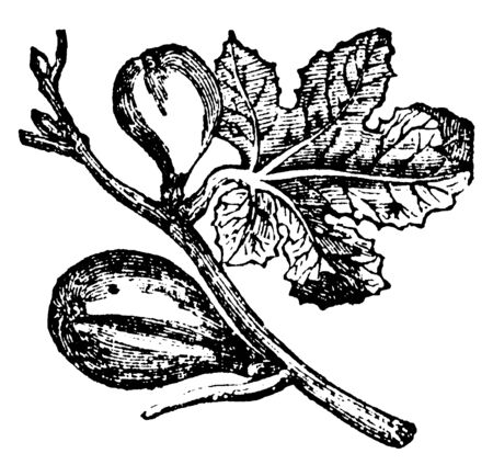 A sketch of Fig leaf with couple of big Figs, vintage line drawing or engraving illustration. Banque d'images - 133026971