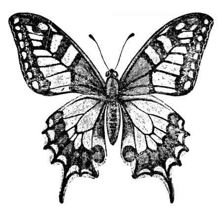 Old World Swallowtail Butterfly which is a yellow butterfly with black wings and a wingspan of up to 8 cm, vintage line drawing or engraving illustration.