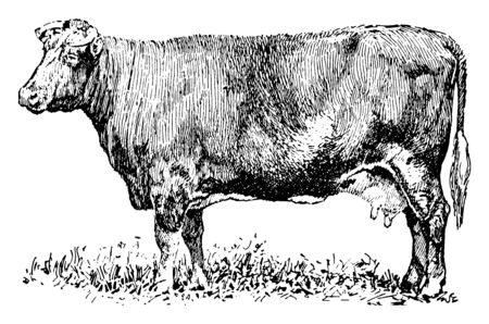 Dual purpose Cow which are breeds that provide both meat and milk, vintage line drawing or engraving illustration.