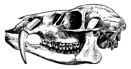 Hydropotes Inermis a deer without antlers but with largely developed upper canine teeth, vintage line drawing or engraving illustration.