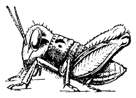 Locust development where certain species of short horned grasshoppers in the family, vintage line drawing or engraving illustration.