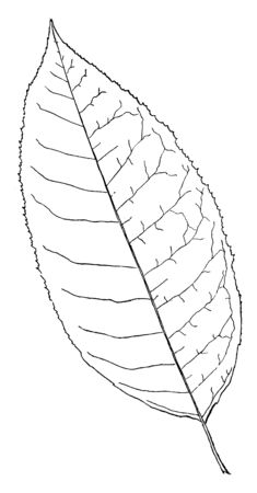 A picture showing the leaf of Sorrel Tree. The leaves Of Sorrel tree are leaves are alternate, elliptical shape with an acuminate tip and sour in tasting, vintage line drawing or engraving illustration.