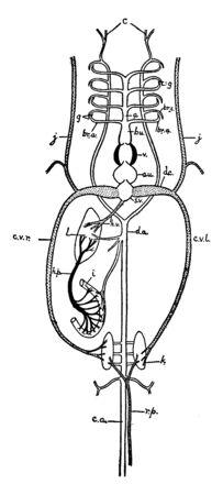 This illustration represents Fish Circulation, vintage line drawing or engraving illustration. Çizim
