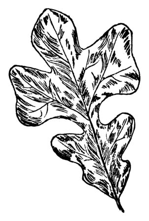 It shows the leaf of a post-oak tree, it is also called Quercus Stellata, slow growing oak that lives in dry poor soils, vintage line drawing or engraving illustration.