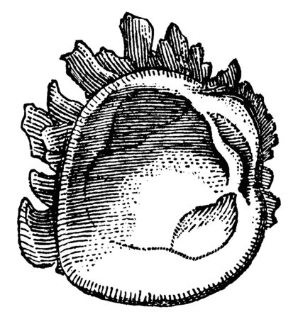 Mollusk is any member of the large phylum Mollusca of invertebrate animals, vintage line drawing or engraving illustration. Çizim