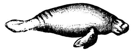 Manatee is large fully aquatic mostly herbivorous marine mammals, vintage line drawing or engraving illustration. Illustration