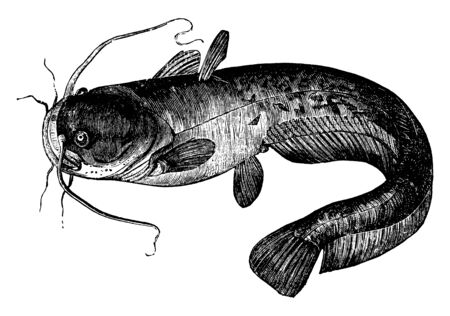 Sly Silurus is a slow and sluggish fish, vintage line drawing or engraving illustration.