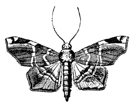Pyralidina are a group of small moths readily distinguished by their long slender bodies, vintage line drawing or engraving illustration.