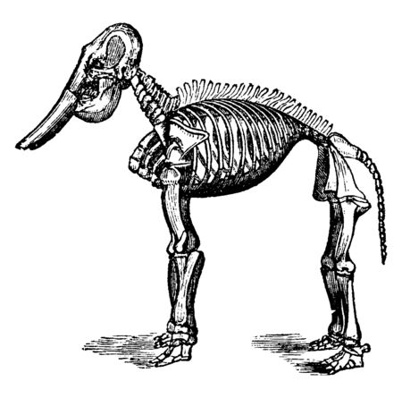 Fossil elephant belong to the family Elephantidae the sole remaining family within the order Proboscidea, vintage line drawing or engraving illustration. Иллюстрация