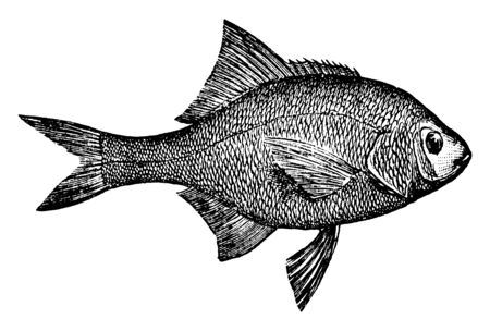 Surfperch is found in the northwest Pacific, vintage line drawing or engraving illustration.