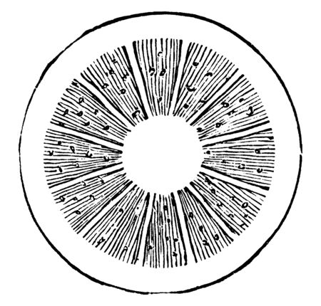 A diagram showing cross section of stem showing multiple layers of wedges. These annual layers show life of tree, vintage line drawing or engraving illustration. Illustration