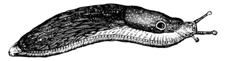 Red slug is a very abundant species and in Europe a broth, vintage line drawing or engraving illustration. Illustration
