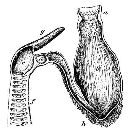Shark Stomach which receives food from the esophagus, vintage line drawing or engraving illustration.