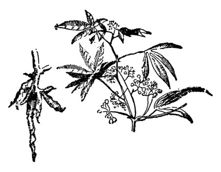 Cassava is woody shrub. It is a root vegetable and also native to South America, vintage line drawing or engraving illustration.