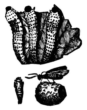 Grape Slug larva of Blennocampa pygmaea, vintage line drawing or engraving illustration.