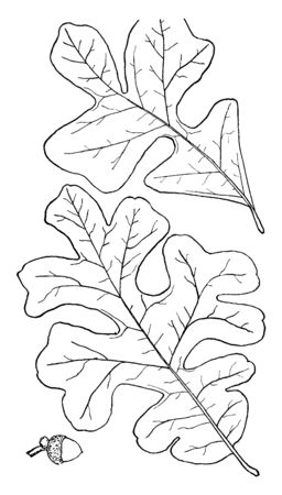 Oaks have spirally arranged leaves. Nut - about one half inch long; egg-shape or oval; more than one third covered by the cup; shining blackish-brown, vintage line drawing or engraving illustration.
