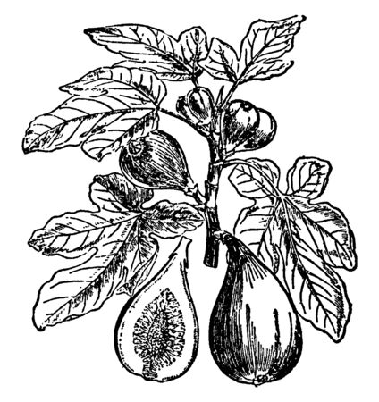 A branch of Fig along with Fig fruit, flower and cross section of a Fig fruit, vintage line drawing or engraving illustration.