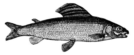 Grayling is weighs one to five pounds, vintage line drawing or engraving illustration.