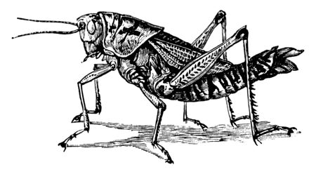 Lubber Grasshopper which is a large bodied, vintage line drawing or engraving illustration.