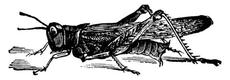 Rocky Mountain Grasshopper is an extinct species of locust, vintage line drawing or engraving illustration.