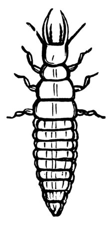 Larva is the second stage of the lace wing fly, vintage line drawing or engraving illustration. Иллюстрация
